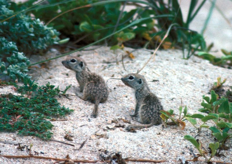 Spotted Ground Squirrel photo