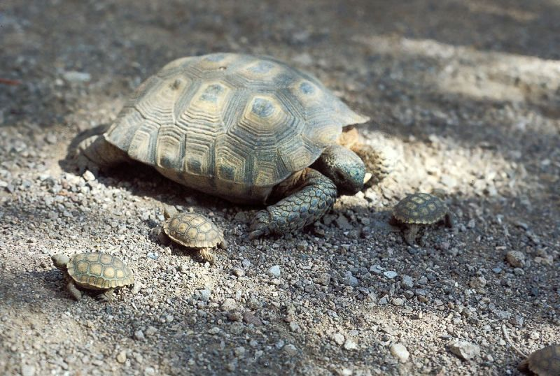Desert Tortoise photo