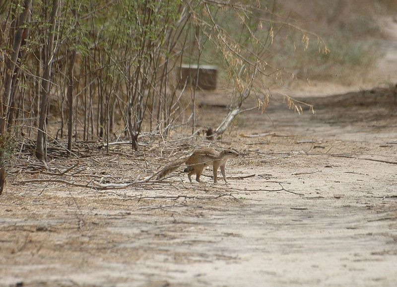 Striped Ground Squirrel photo