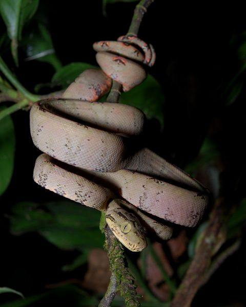 Amazon Tree Boa photo