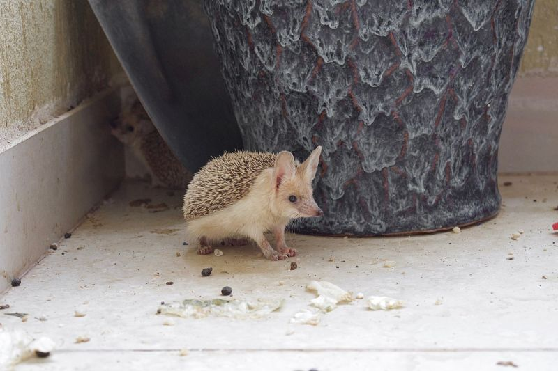 Desert Hedgehog photo