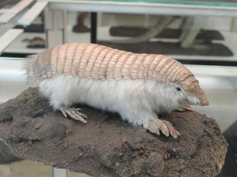 Pink Fairy Armadillo photo