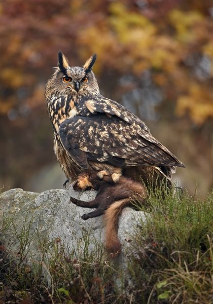 Eurasian Eagle-Owl photo