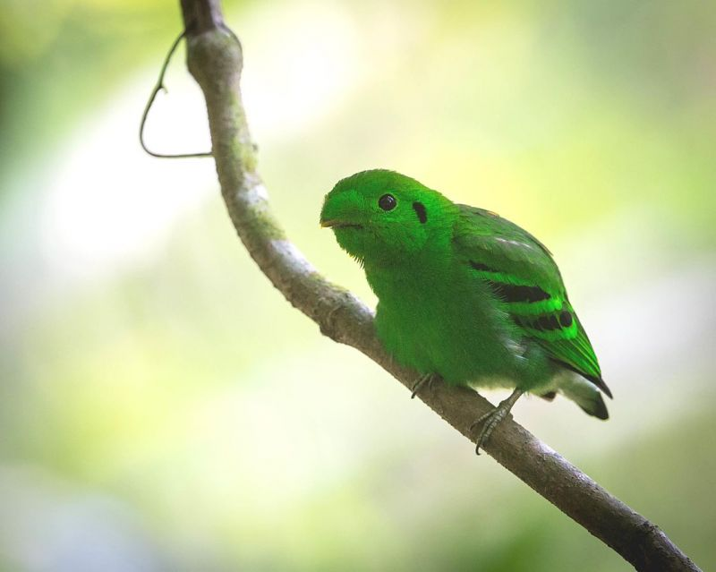 Green Broadbill photo