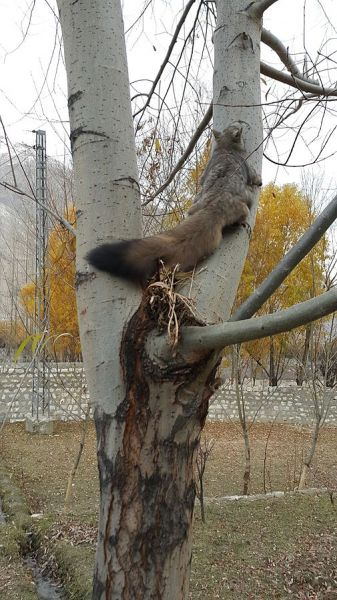 Woolly Flying Squirrel photo