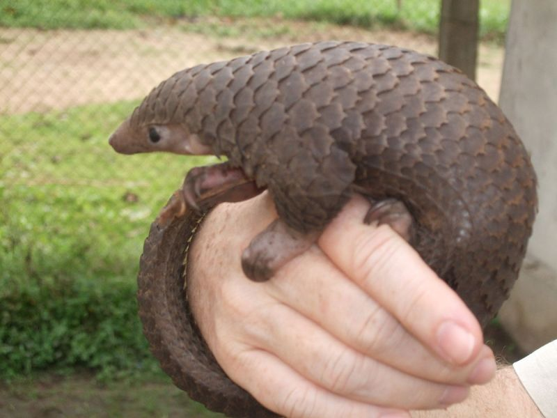Tree Pangolin photo