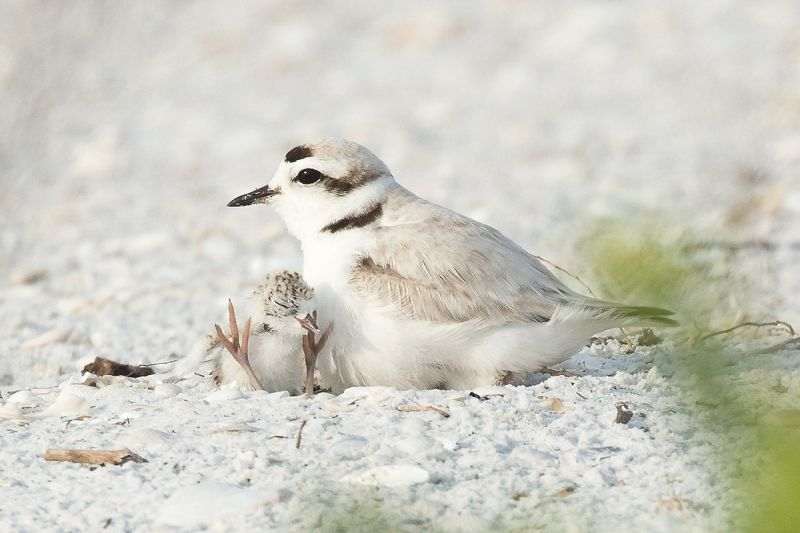 Snowy Plover photo