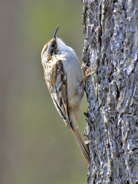 brown creeper sudbury river