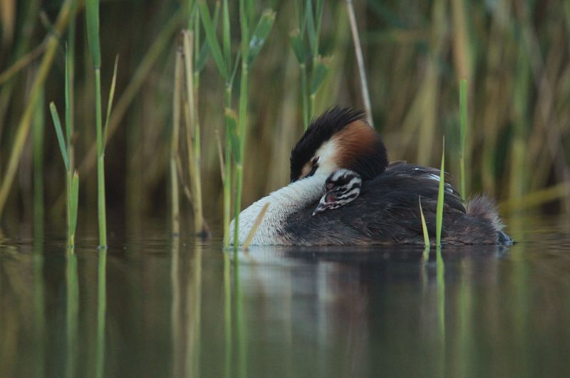 Great Crested Grebe photo