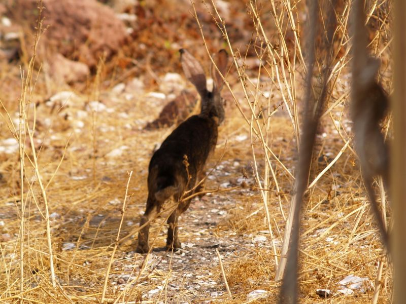 black jackrabbit