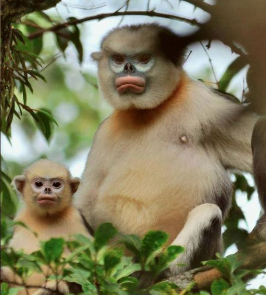 Tonkin Snub-Nosed Monkey photo