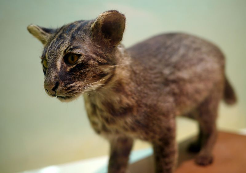 A stuffed Iriomote cat at the Iriomote Wildlife Conservation Center