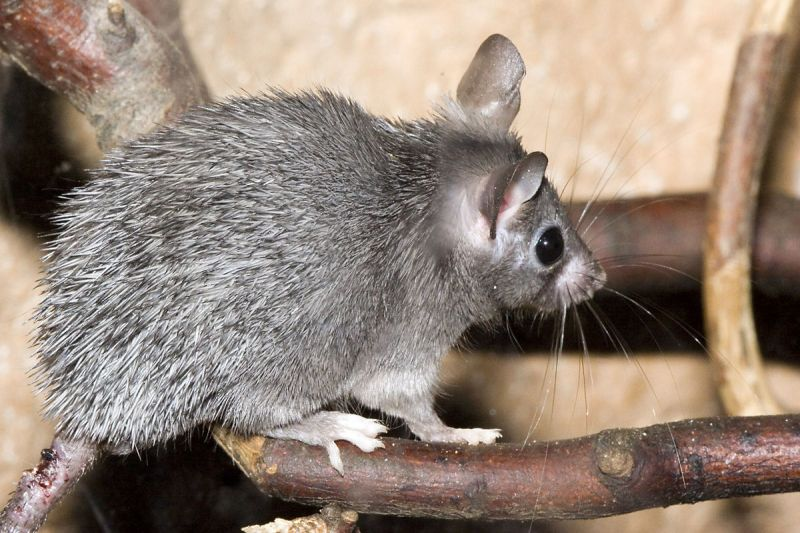 Cairo Spiny Mouse photo
