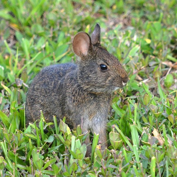 Marsh Rabbit photo