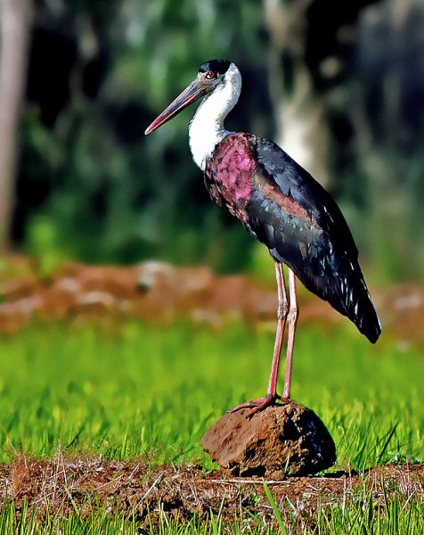 White-Necked Stork photo