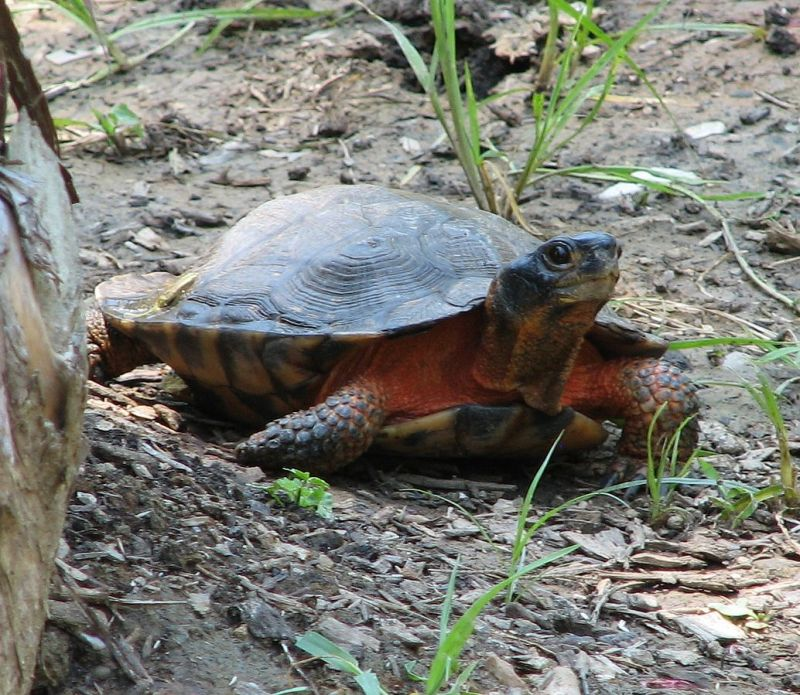 Wood Turtle photo