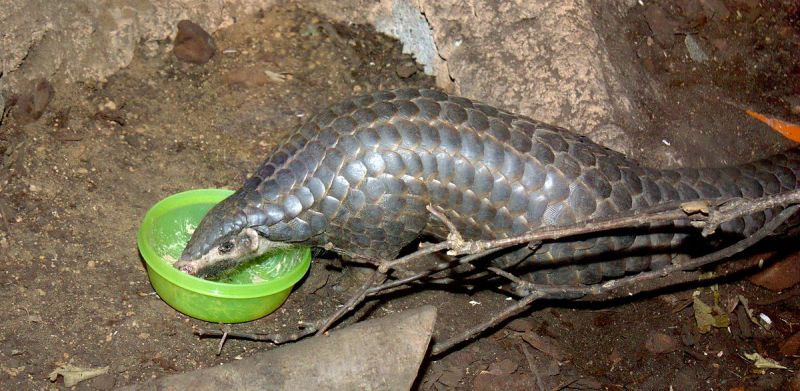 Chinese Pangolin photo