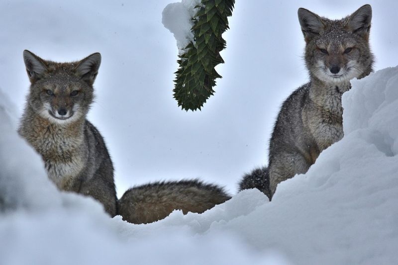 South American Gray Fox photo