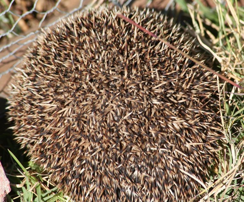 Southern African Hedgehog photo