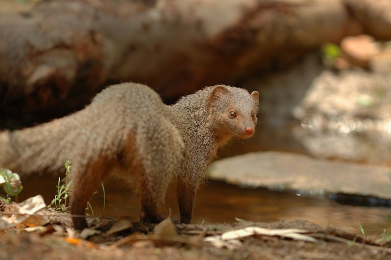 Indian Gray Mongoose photo