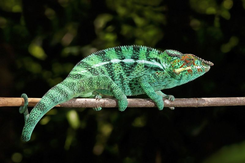 Panther Chameleon photo
