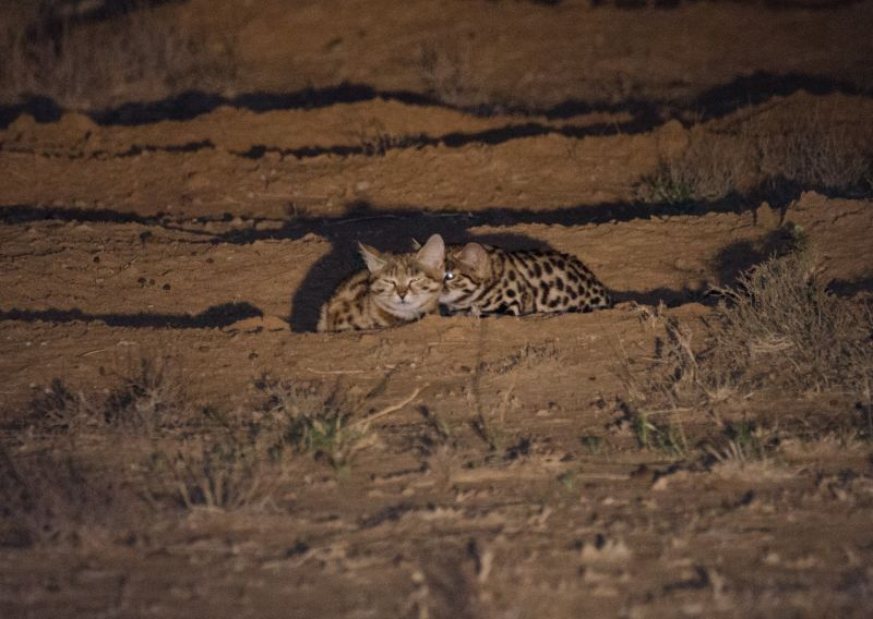 Black-Footed Cat photo