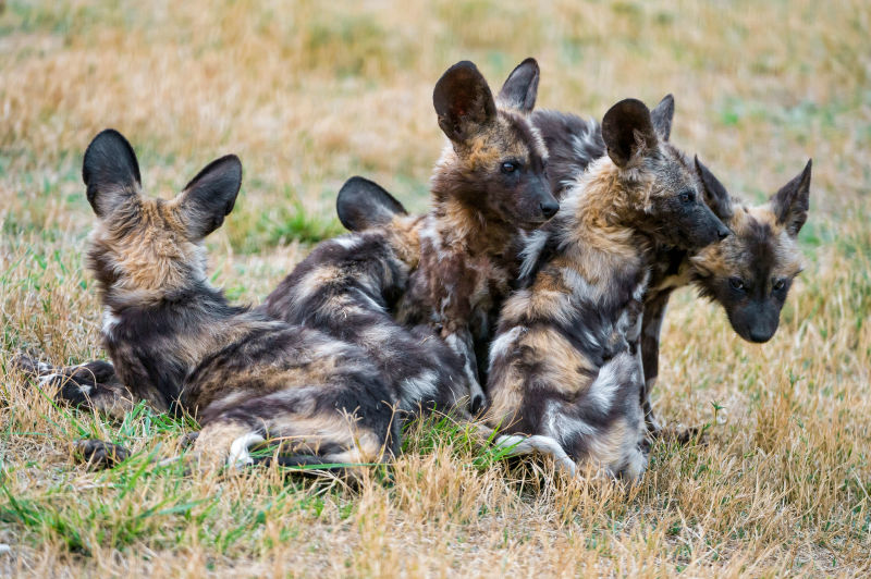 A bunch of young wild dogs II