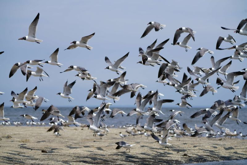 A flock of laughing gulls take off