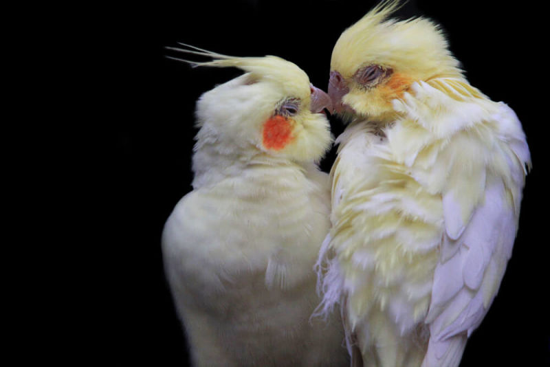 A love birds' kiss