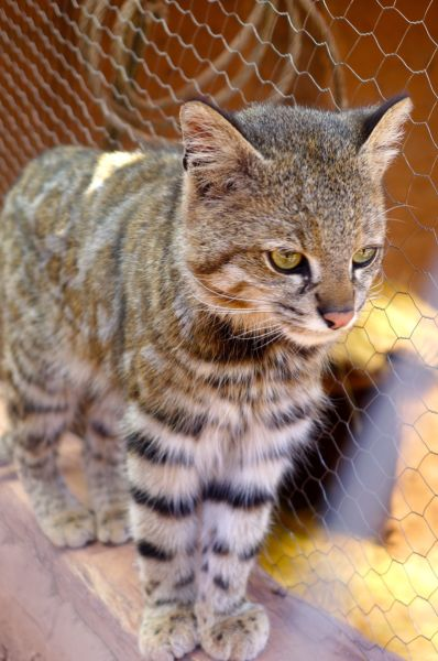 A wild Andean Cat - they are slightly larger than a house cat with markings very like one of the big cats
