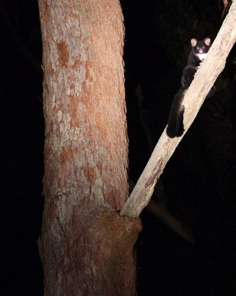 Greater Glider photo