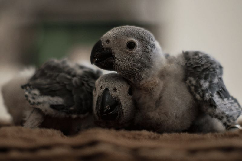African grey parrots 5 weeks old