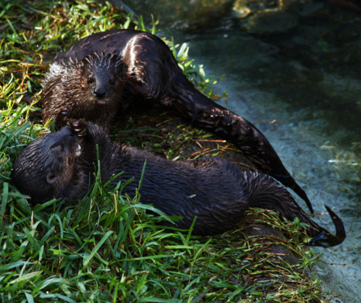 African Spot-necked Otter