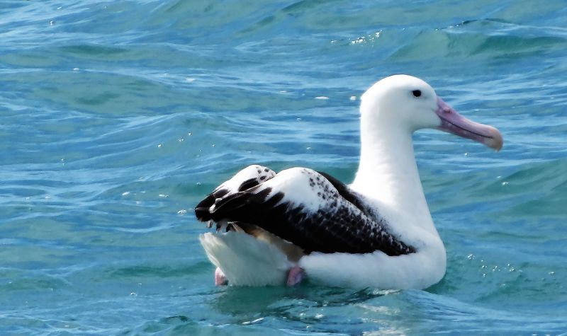 Akaroa. Just outside the harbour in the Pacific Ocean a mighty Royal Albatross.