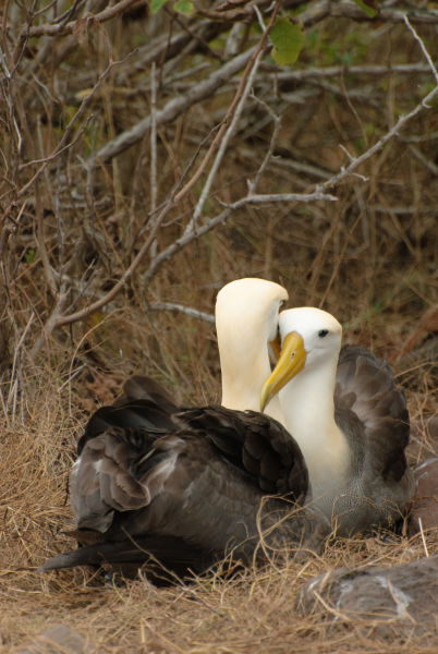 albatrosses courting