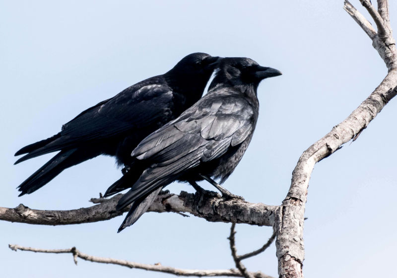 Allopreening American crows