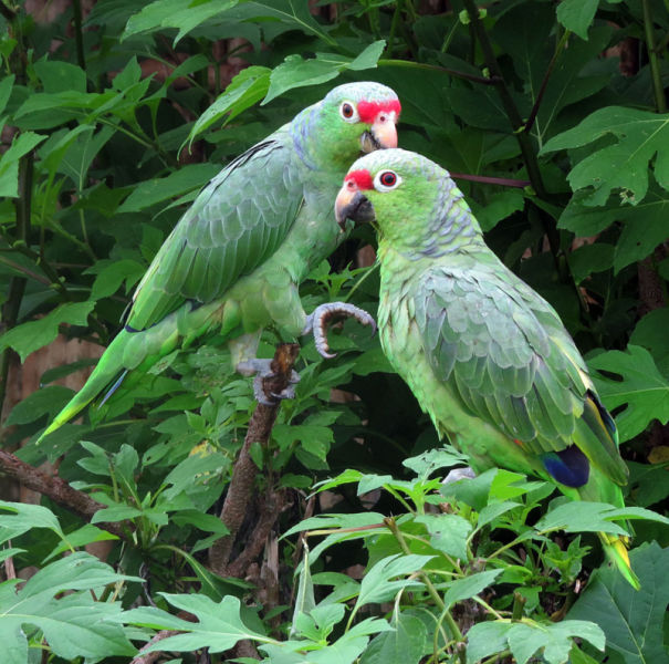 Amazona autumnalis--  Red-lored Parrots