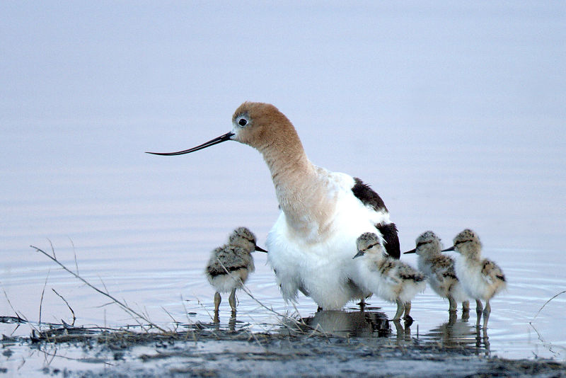 American Avocet chicks and adult