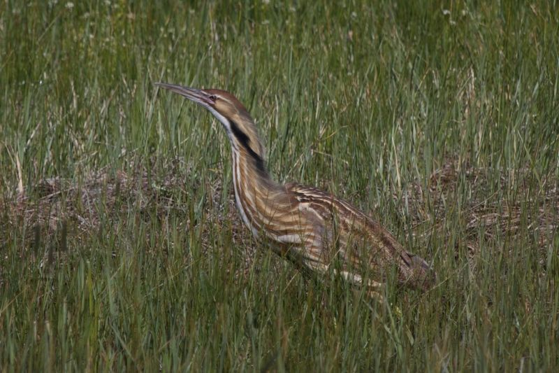 American Bittern|Malheur NWR|OR | 2014-05-11at15-32-061
