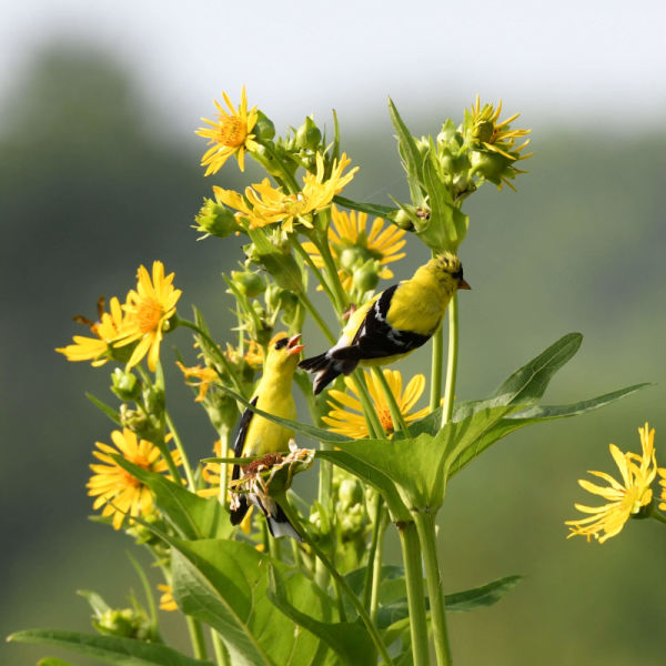 American Goldfinch on Cup Plant