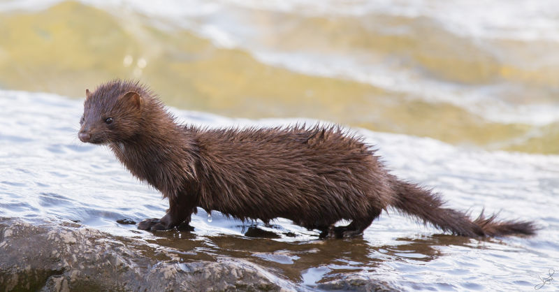 American Mink, Centre Island, Toronto, ON
