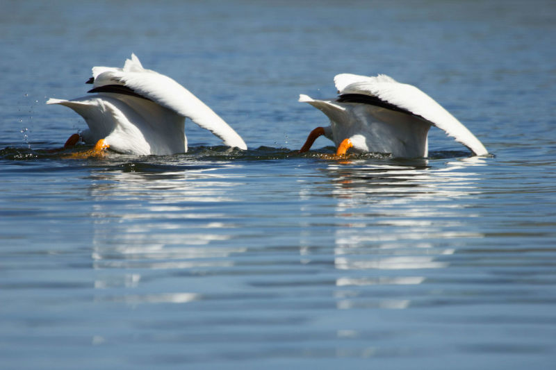 American white pelicans feeding in the Yellowstone River