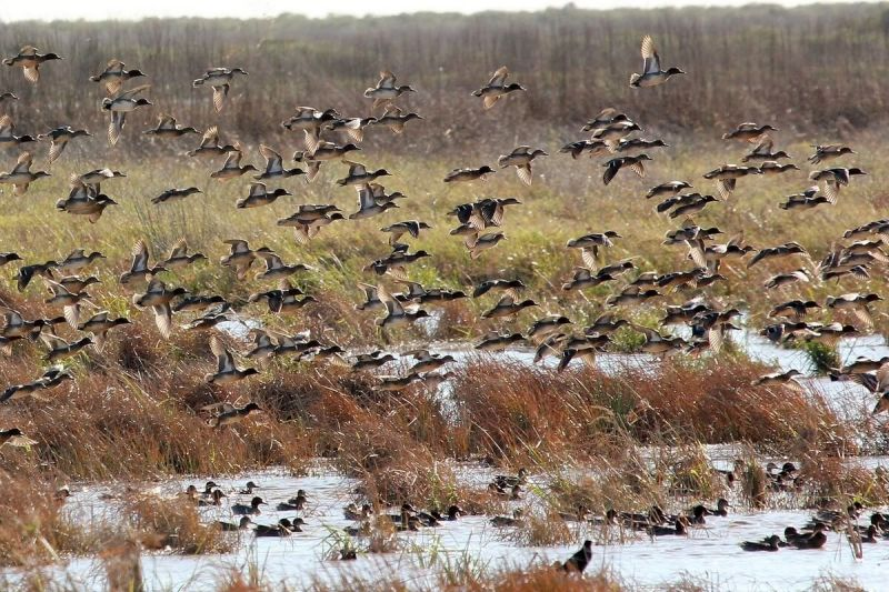 Anahuac National Wildlife Refuge Green Winged Teal