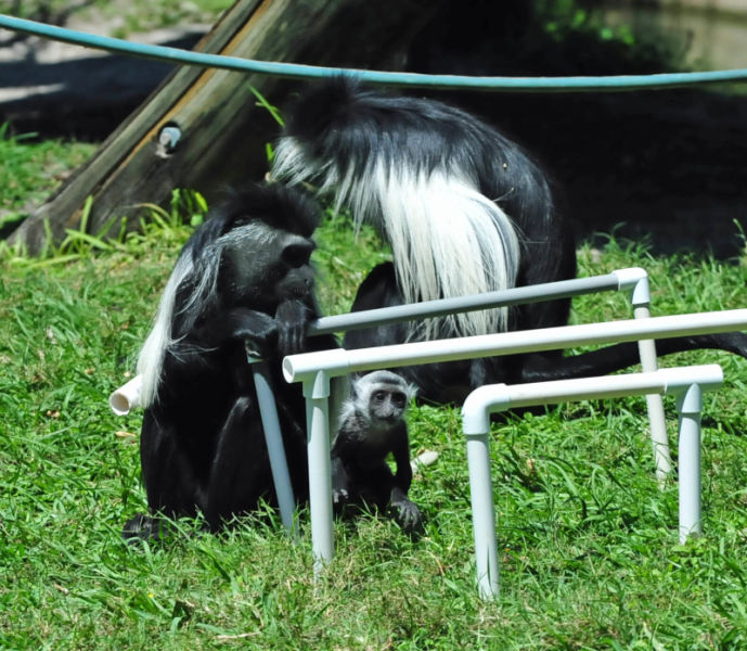 Angolan Black and White Colobus (Colobus angolensis polycomos)