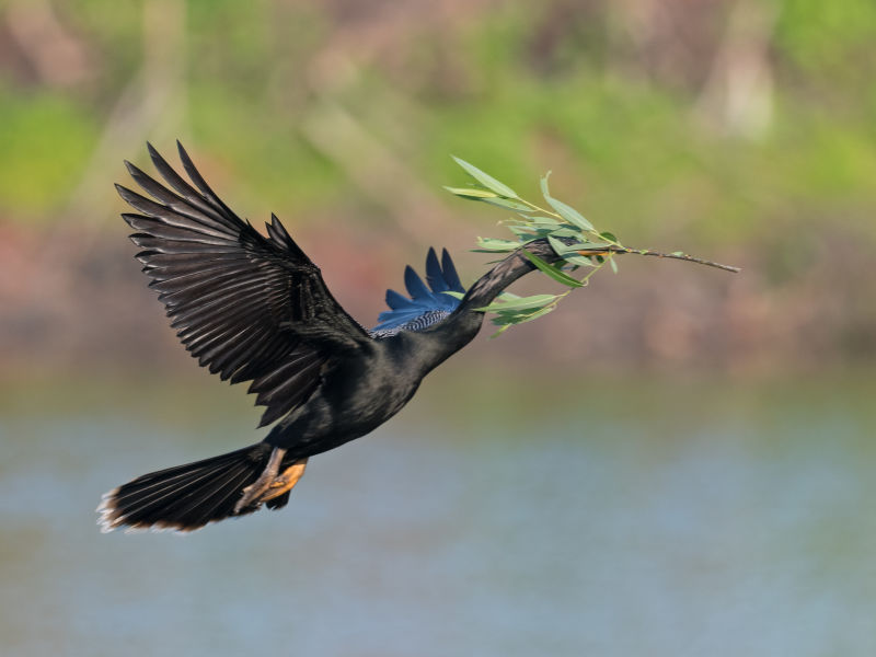 anhinga with nest makings