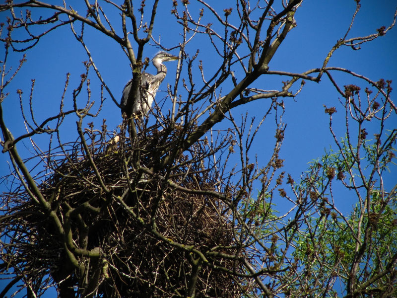 Another Heron's Nest