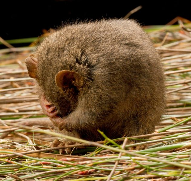 Antechinus swainsonii, Dusky Antechinus