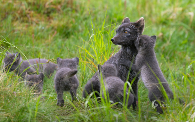 Arctic fox family, Swedish Lapland