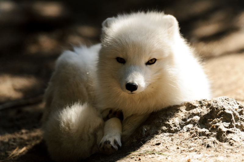 Arctic Fox in the Sun