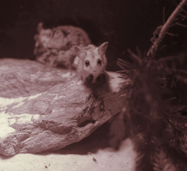 Attentive fat-tailed dunnart